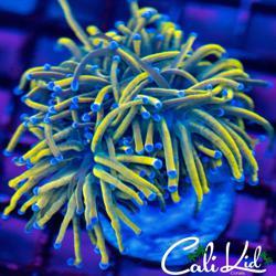 Cali Kid Corals